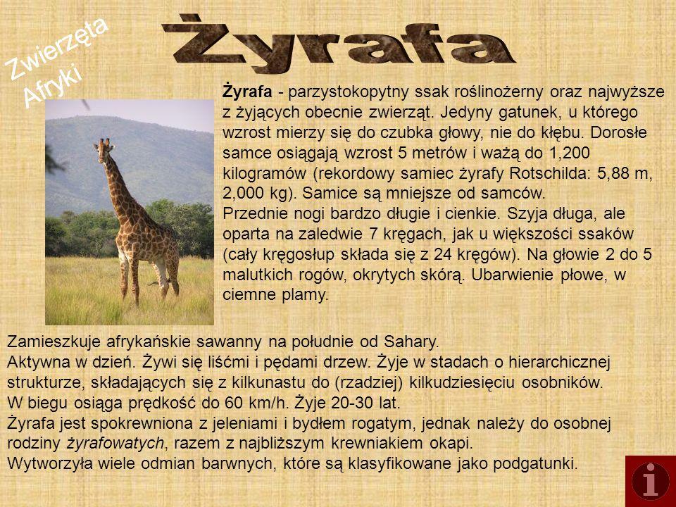 Zwierzęta Afryki Żyrafa - parzystokopytny ssak roślinożerny oraz najwyższe z żyjących obecnie zwierząt. Jedyny gatunek, u którego wzrost mierzy się do