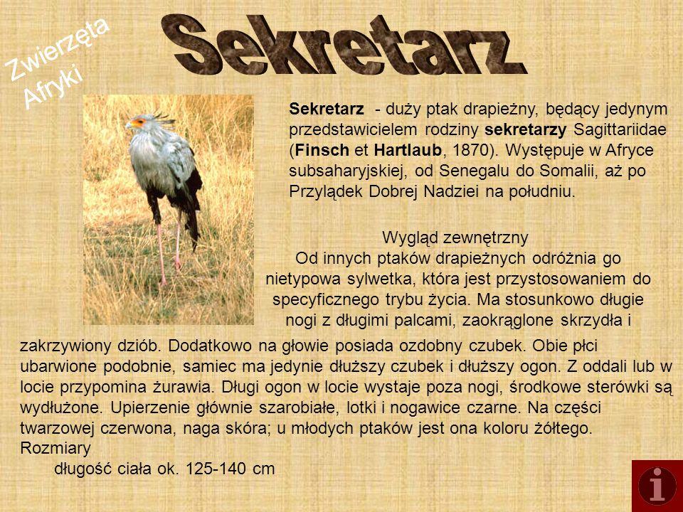 Zwierzęta Afryki Sekretarz - duży ptak drapieżny, będący jedynym przedstawicielem rodziny sekretarzy Sagittariidae (Finsch et Hartlaub, 1870). Występu