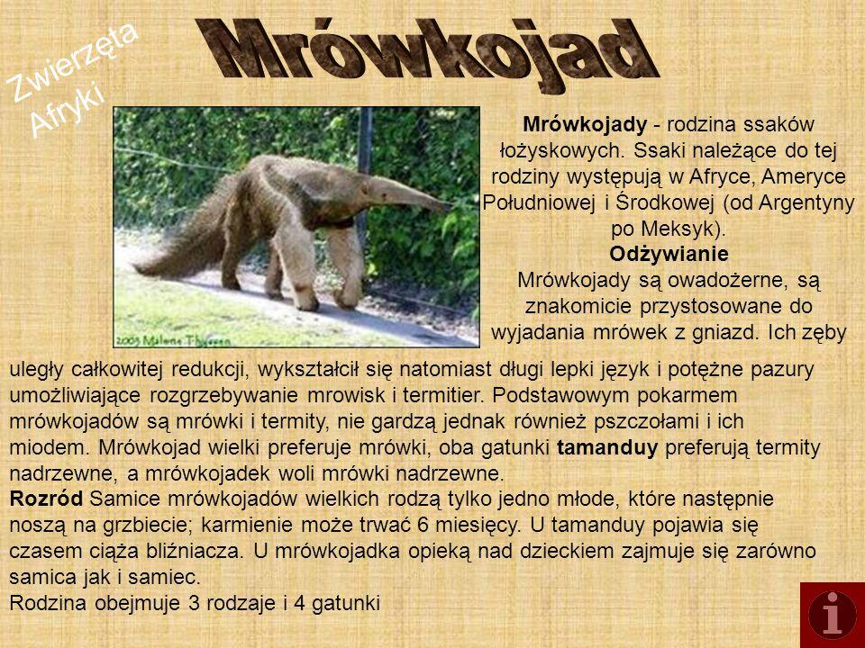 Zwierzęta Afryki Mrówkojady - rodzina ssaków łożyskowych. Ssaki należące do tej rodziny występują w Afryce, Ameryce Południowej i Środkowej (od Argent