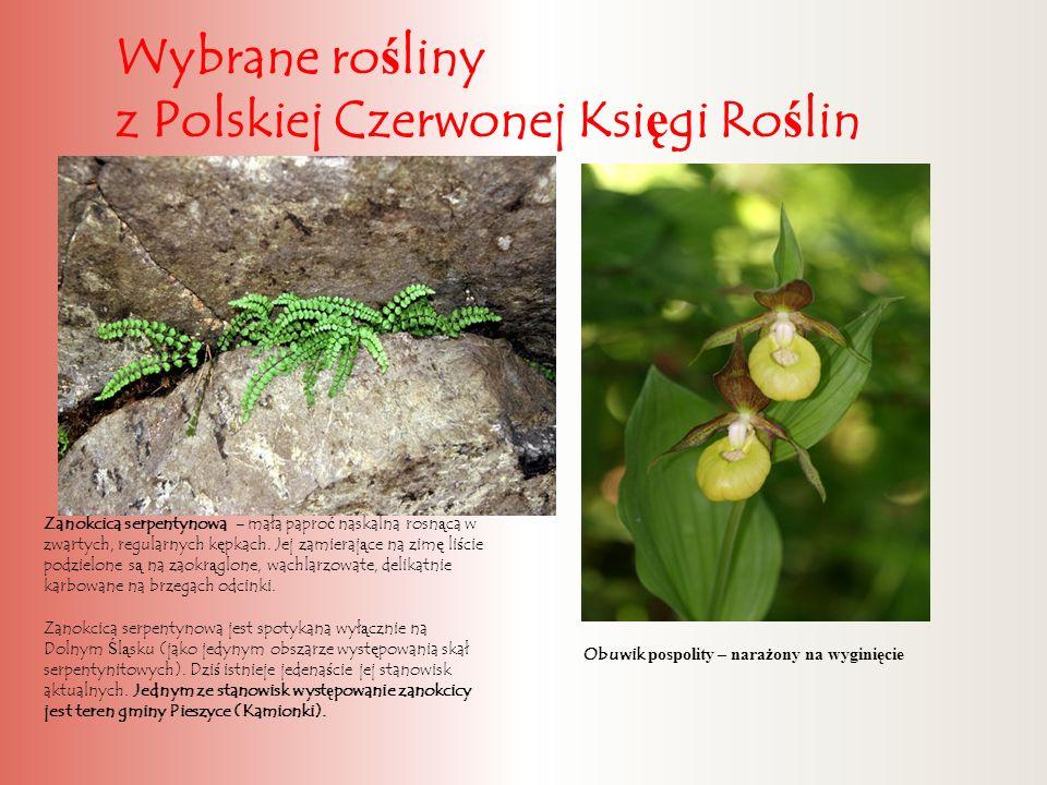 Wybrane ro ś liny z Polskiej Czerwonej Ksi ę gi Ro ś lin Zanokcica serpentynowa - mała papro ć naskalna rosn ą ca w zwartych, regularnych k ę pkach. J