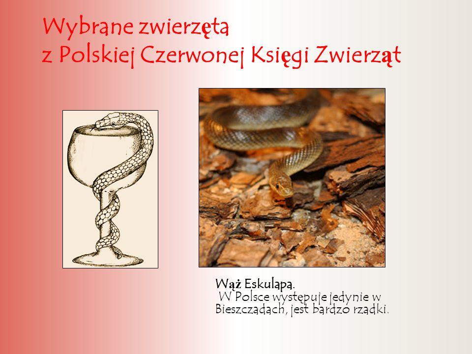 Wybrane zwierz ę ta z Polskiej Czerwonej Ksi ę gi Zwierz ą t W ąż Eskulapa. W Polsce wyst ę puje jedynie w Bieszczadach, jest bardzo rzadki.