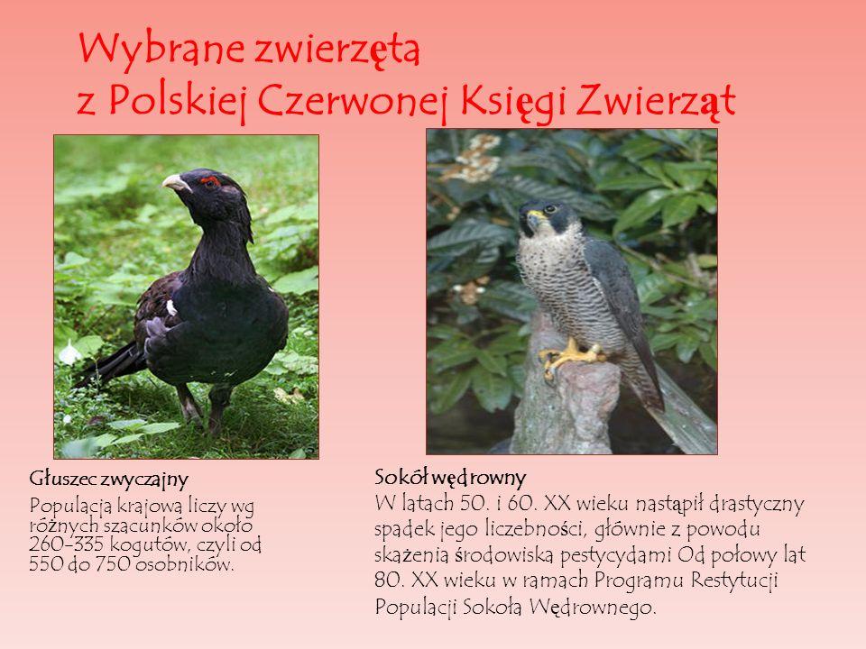 Wybrane zwierz ę ta z Polskiej Czerwonej Ksi ę gi Zwierz ą t Głuszec zwyczajny Populacja krajowa liczy wg ró ż nych szacunków około 260-335 kogutów, c