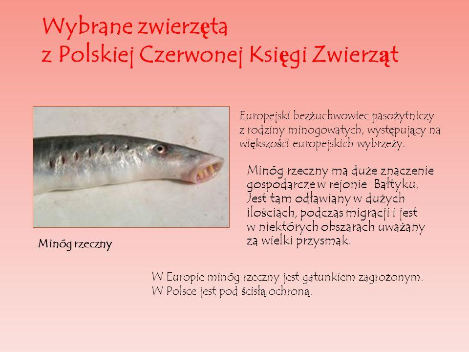 Wybrane zwierz ę ta z Polskiej Czerwonej Ksi ę gi Zwierz ą t Minóg rzeczny ma du ż e znaczenie gospodarcze w rejonie Bałtyku. Jest tam odławiany w du