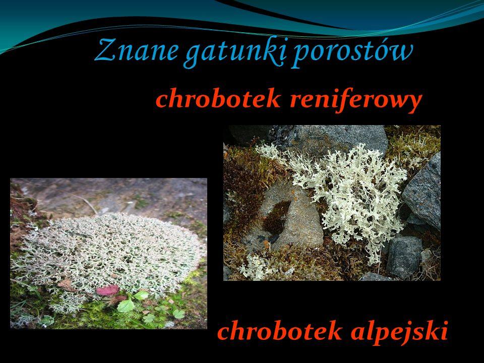 chrobotek reniferowy chrobotek alpejski