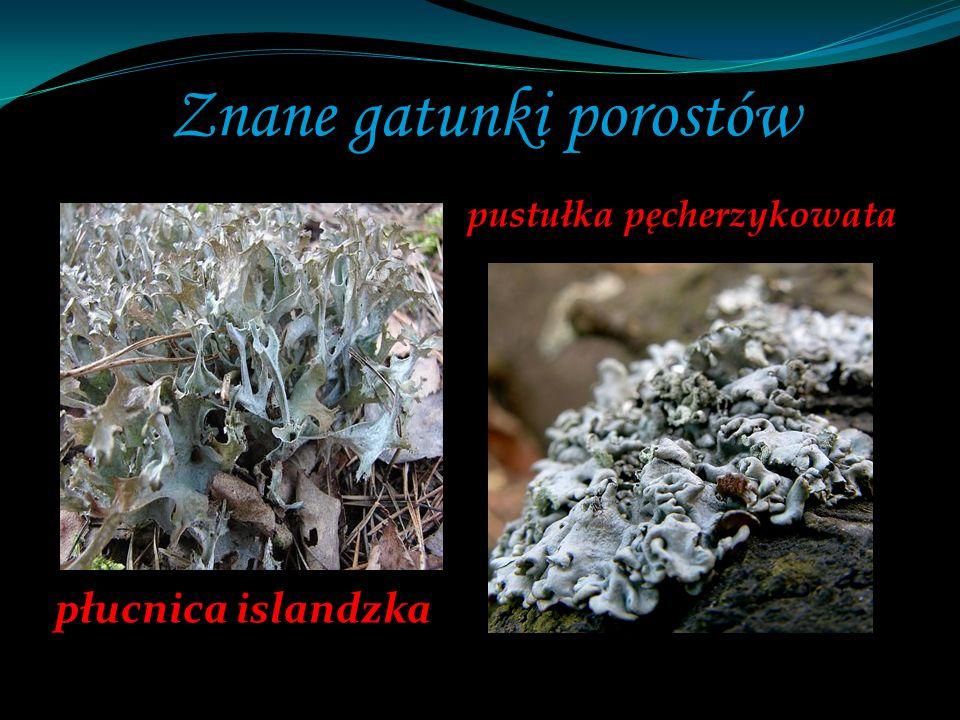Znane gatunki porostów płucnica islandzka pustułka pęcherzykowata