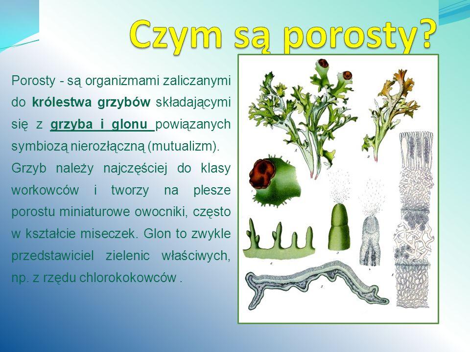 Porosty - są organizmami zaliczanymi do królestwa grzybów składającymi się z grzyba i glonu powiązanych symbiozą nierozłączną (mutualizm). Grzyb należ
