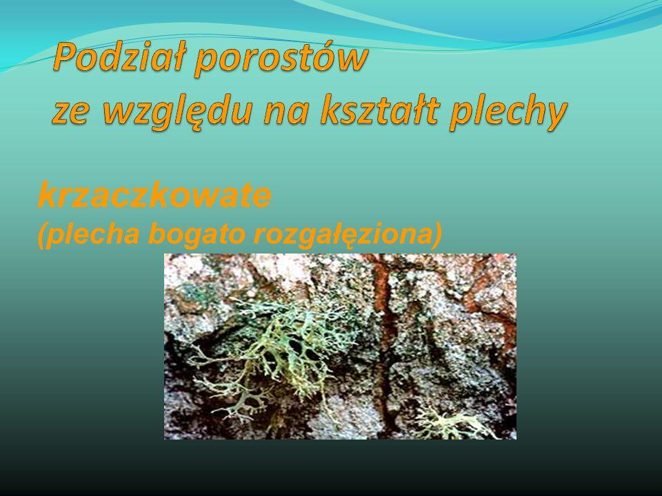 krzaczkowate (plecha bogato rozgałęziona)