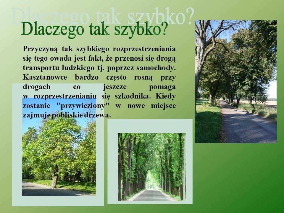 Szrotówek kasztanowcowiaczek Pierwszy raz został zauważony 21 lat temu nad Jeziorem Ochrydzkim w Macedonii. W ciągu dwóch dekad motyl rozpanoszył się