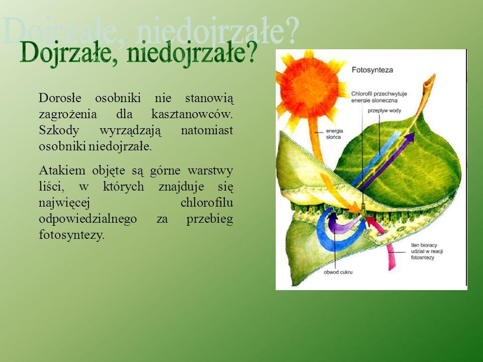 Gąsienice żerując wewnątrz liści wygryzają się w miękisz między nerwami, początkowo w formie okrągłej, a potem podłużnej brązowej plamy tzw. miny o po