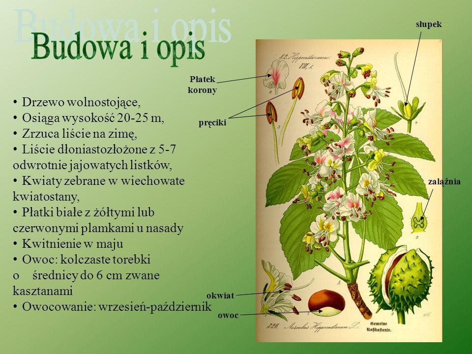 Kasztanowiec zwyczajny (kasztanowiec biały) (Aesculus hippocastanum) Pochodzi z Półwyspu Bałkańskiego, jednak udomowienie sprawiło, że w całej Europie