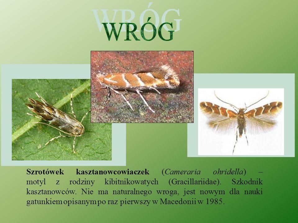Szrotówek kasztanowcowiaczek (Cameraria ohridella) – motyl z rodziny kibitnikowatych (Gracillariidae).