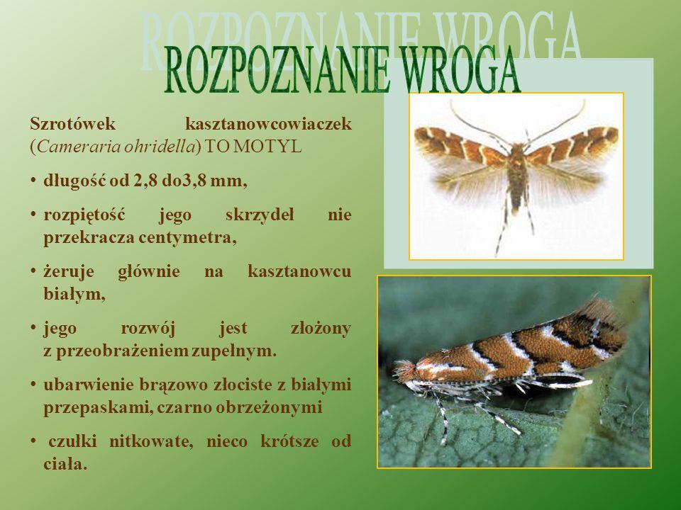 Szrotówek kasztanowcowiaczek (Cameraria ohridella) TO MOTYL długość od 2,8 do3,8 mm, rozpiętość jego skrzydeł nie przekracza centymetra, żeruje głównie na kasztanowcu białym, jego rozwój jest złożony z przeobrażeniem zupełnym.