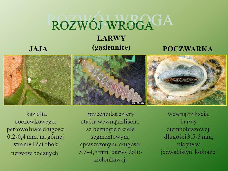 Szrotówek kasztanowcowiaczek (Cameraria ohridella) TO MOTYL długość od 2,8 do3,8 mm, rozpiętość jego skrzydeł nie przekracza centymetra, żeruje główni