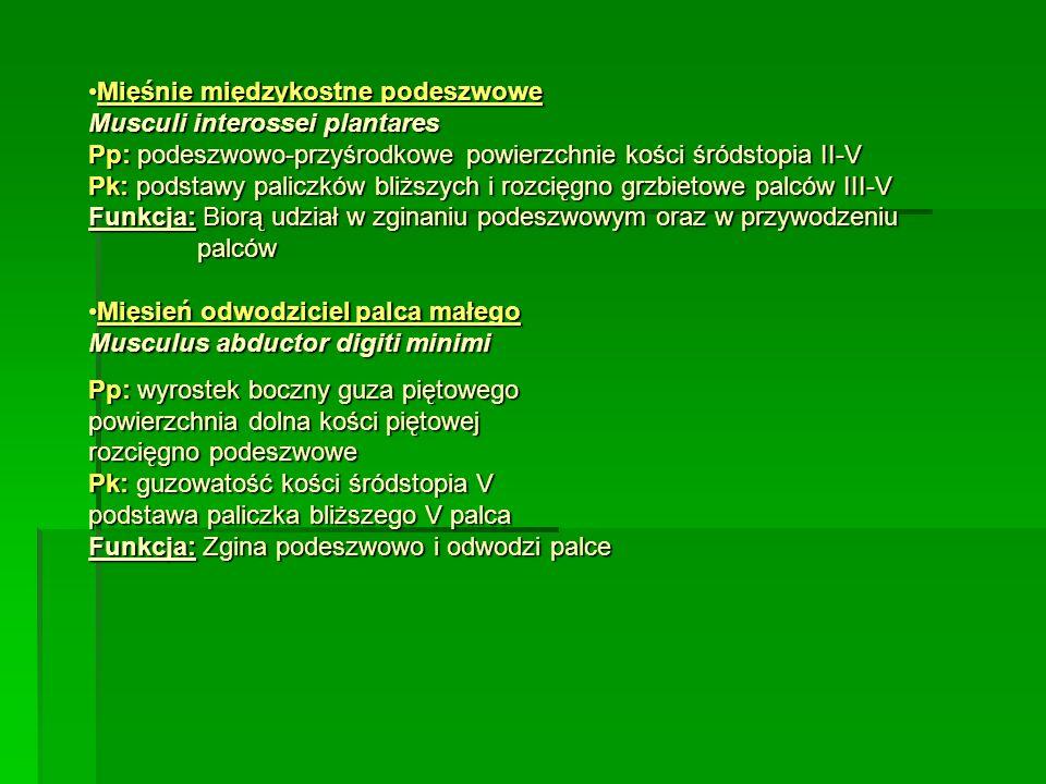 Mięśnie międzykostne podeszwoweMięśnie międzykostne podeszwowe Musculi interossei plantares Pp: podeszwowo-przyśrodkowe powierzchnie kości śródstopia