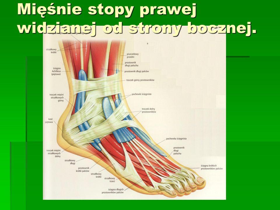 Mięśnie stopy prawej widzianej od strony bocznej.