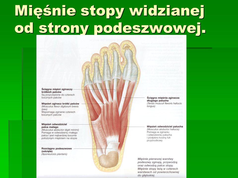 Mięśnie stopy widzianej od strony podeszwowej.