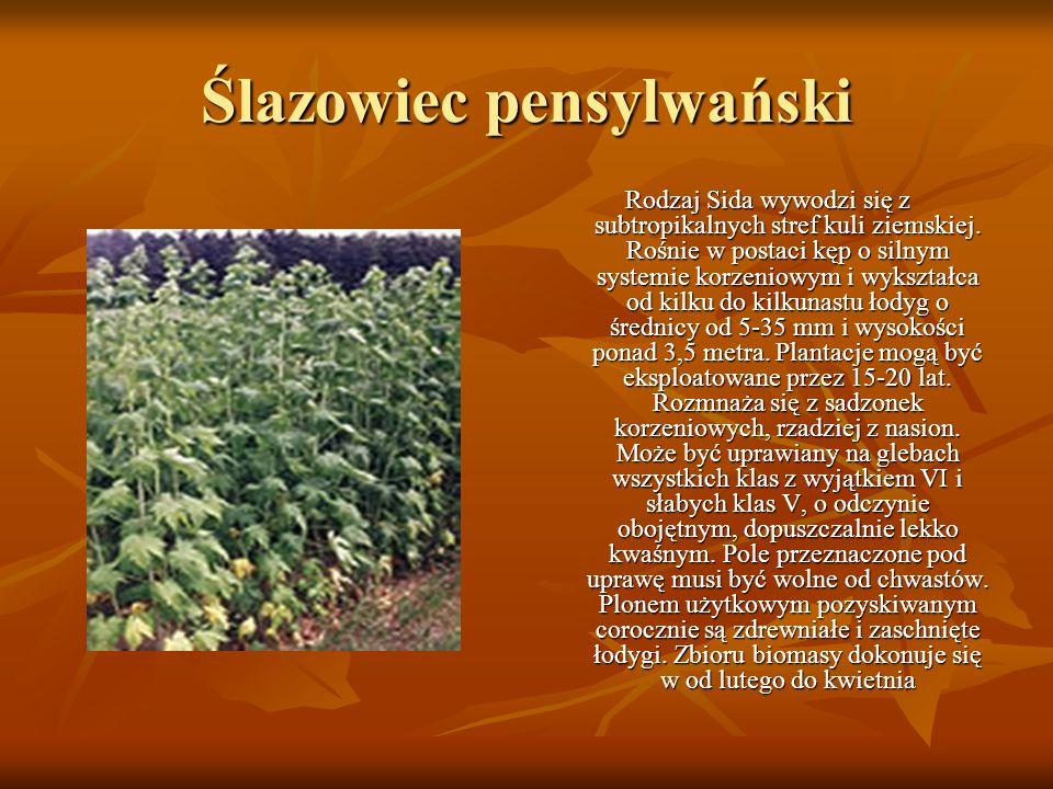 Ślazowiec pensylwański Rodzaj Sida wywodzi się z subtropikalnych stref kuli ziemskiej. Rośnie w postaci kęp o silnym systemie korzeniowym i wykształca