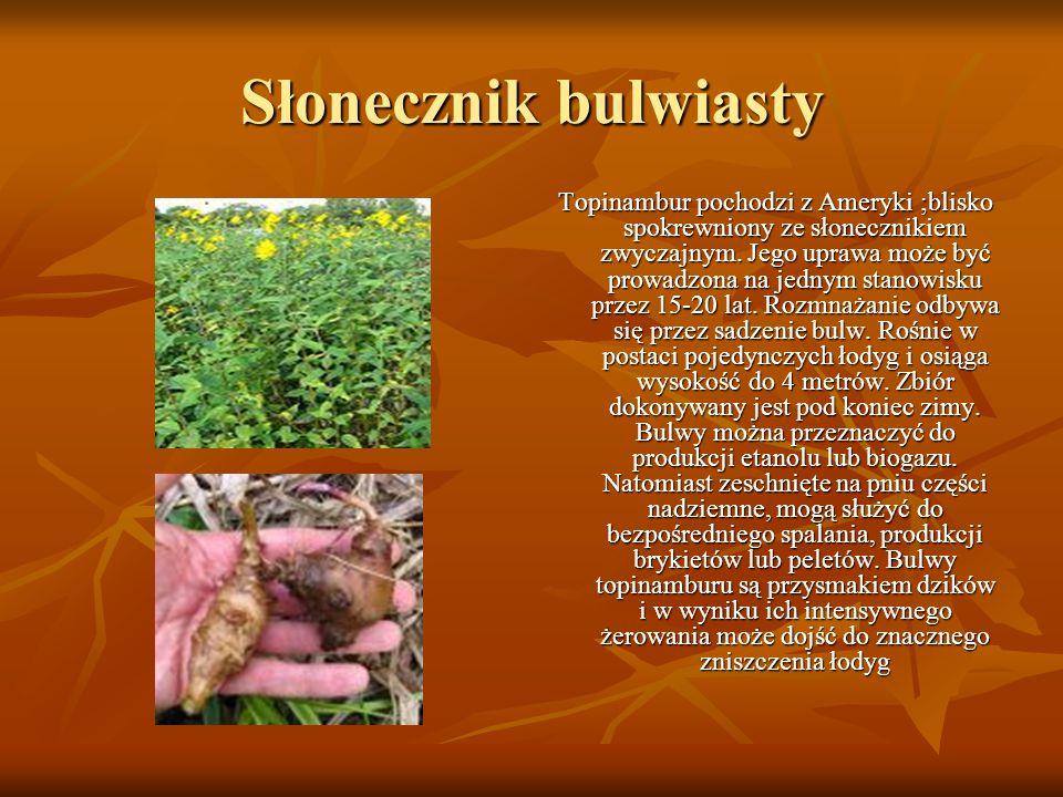 Słonecznik bulwiasty Topinambur pochodzi z Ameryki ;blisko spokrewniony ze słonecznikiem zwyczajnym. Jego uprawa może być prowadzona na jednym stanowi