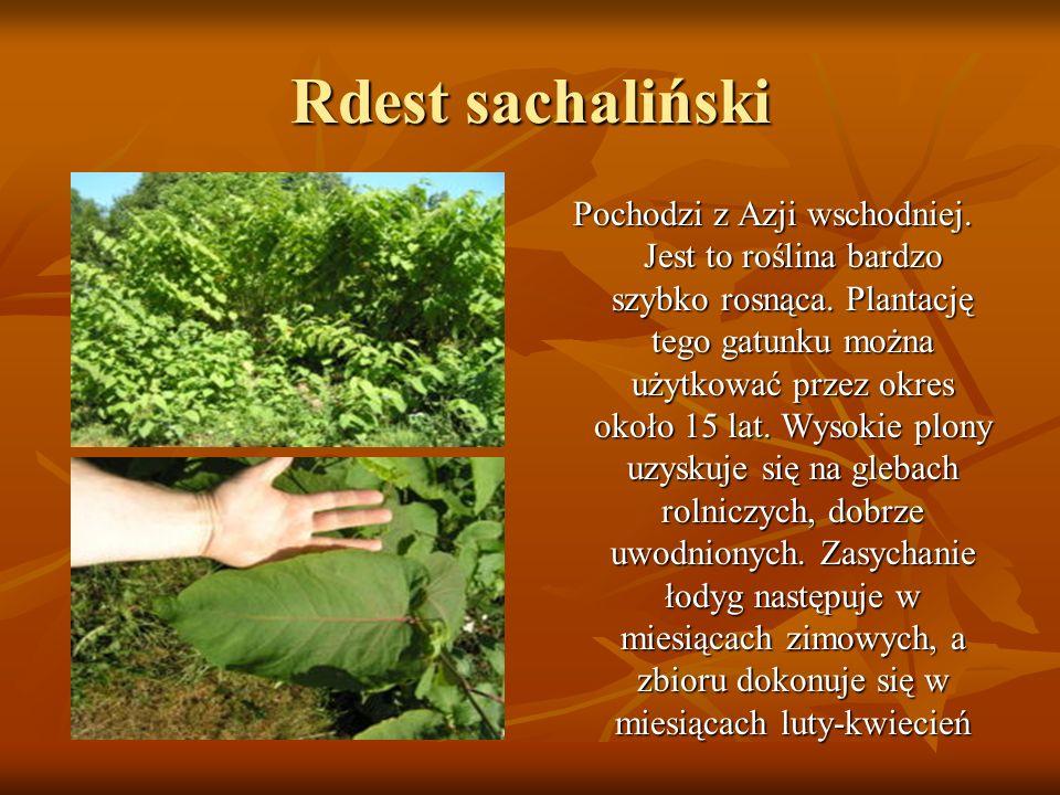 Rdest sachaliński Pochodzi z Azji wschodniej. Jest to roślina bardzo szybko rosnąca. Plantację tego gatunku można użytkować przez okres około 15 lat.