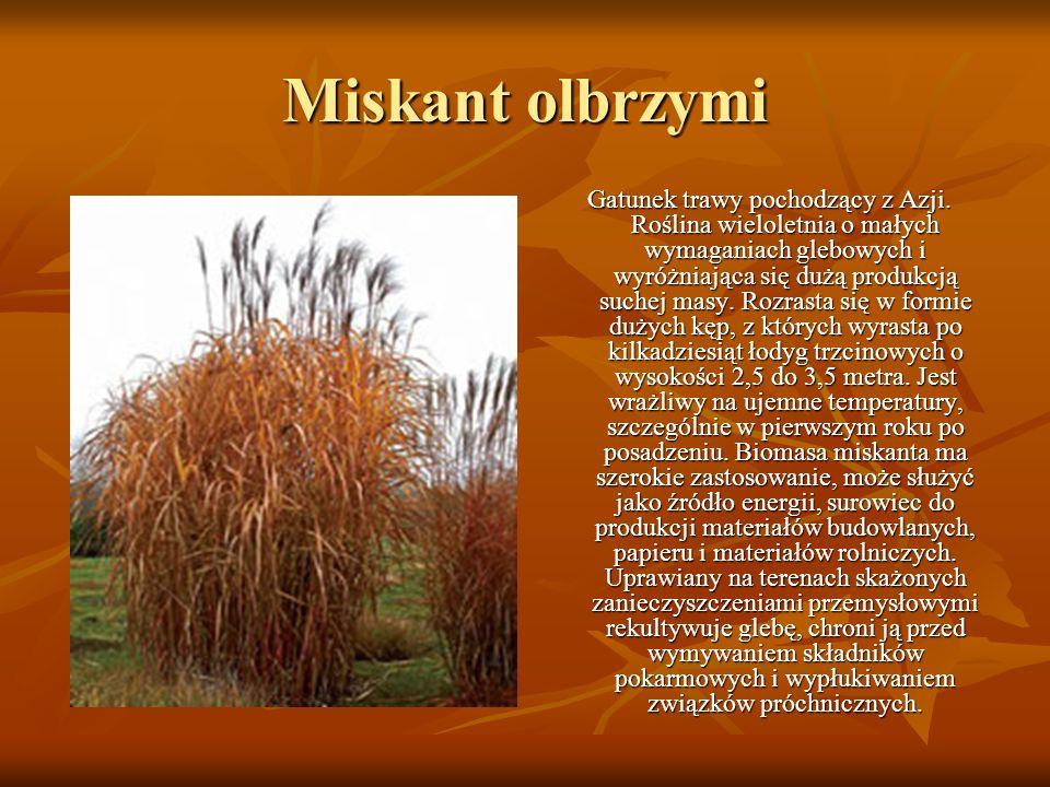 Miskant olbrzymi Gatunek trawy pochodzący z Azji. Roślina wieloletnia o małych wymaganiach glebowych i wyróżniająca się dużą produkcją suchej masy. Ro