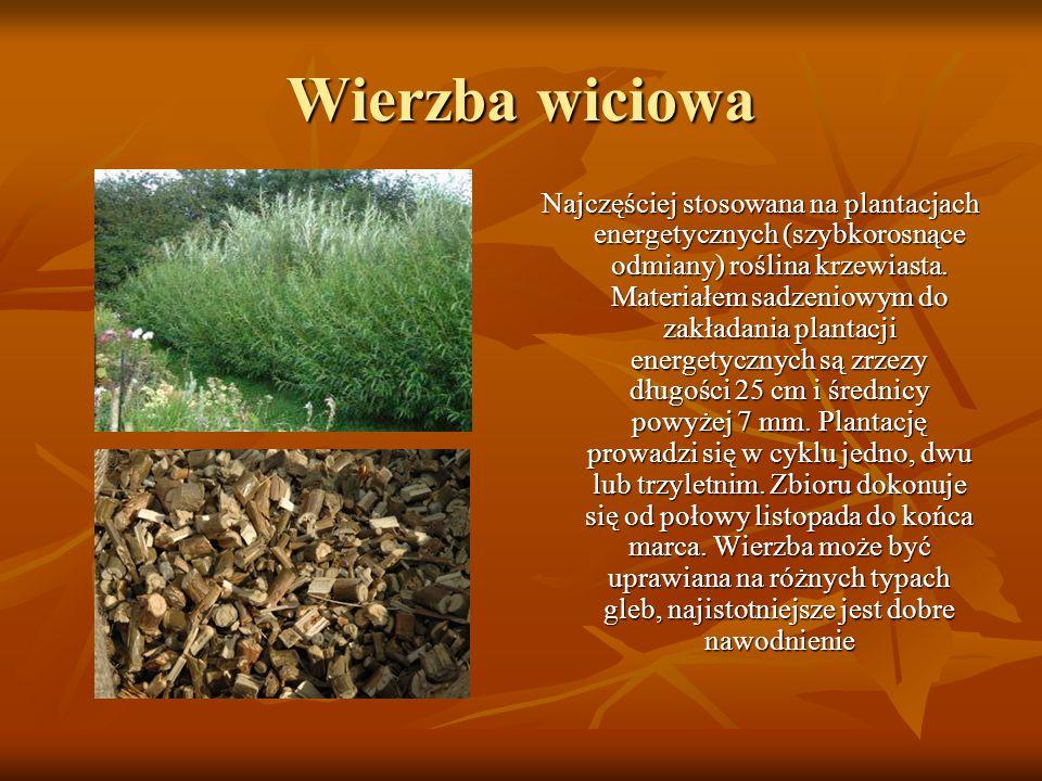 Wierzba wiciowa Najczęściej stosowana na plantacjach energetycznych (szybkorosnące odmiany) roślina krzewiasta. Materiałem sadzeniowym do zakładania p