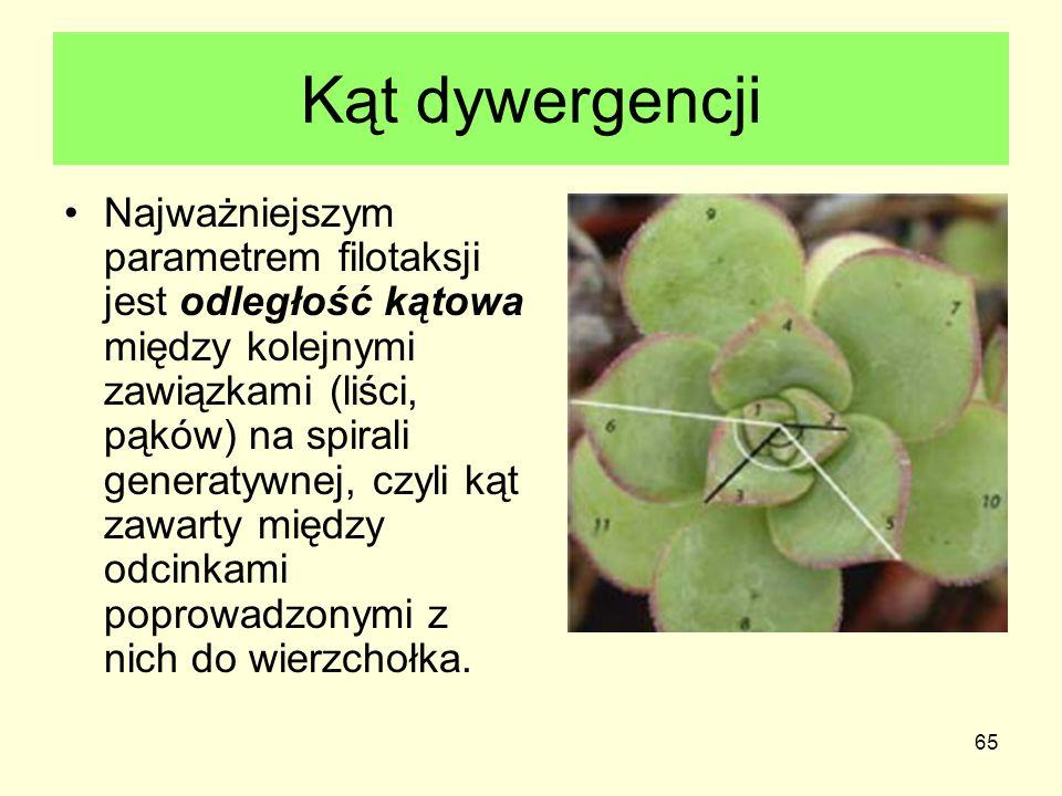 65 Kąt dywergencji Najważniejszym parametrem filotaksji jest odległość kątowa między kolejnymi zawiązkami (liści, pąków) na spirali generatywnej, czyl
