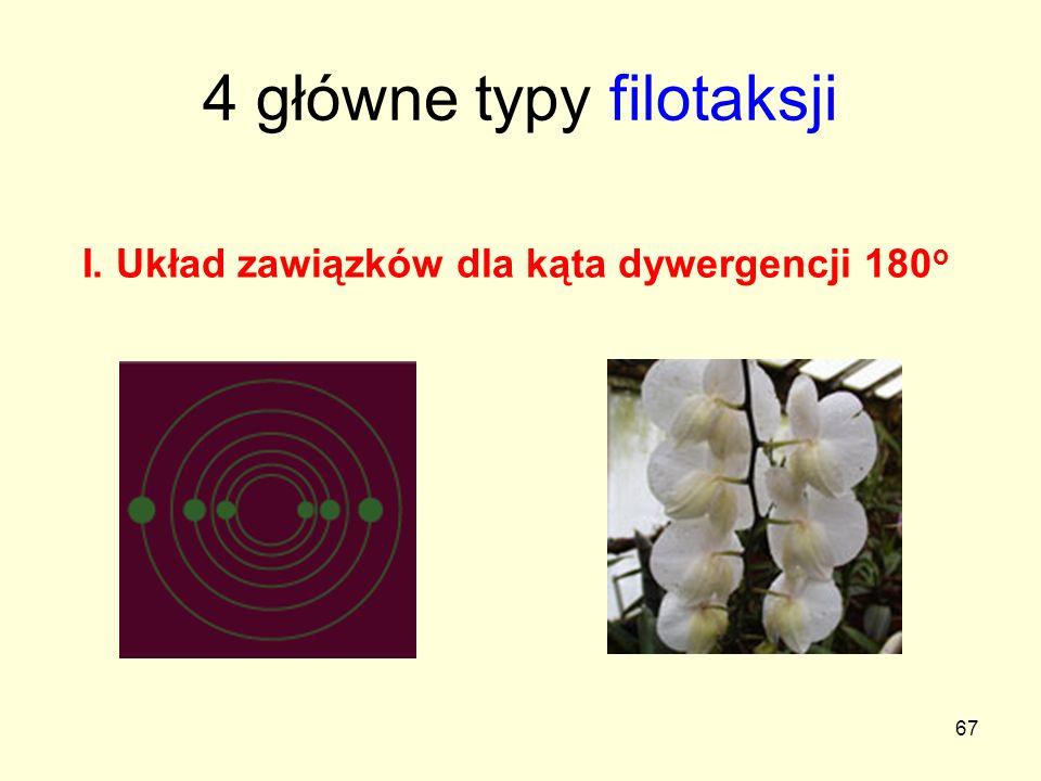 67 4 główne typy filotaksji I. Układ zawiązków dla kąta dywergencji 180 o