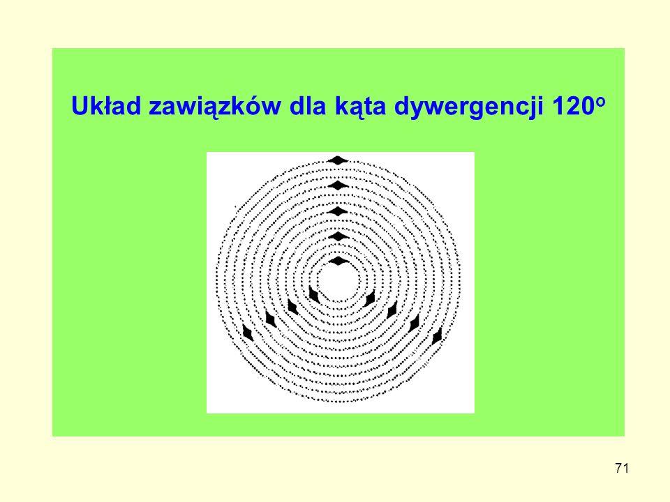 71 Układ zawiązków dla kąta dywergencji 120 o
