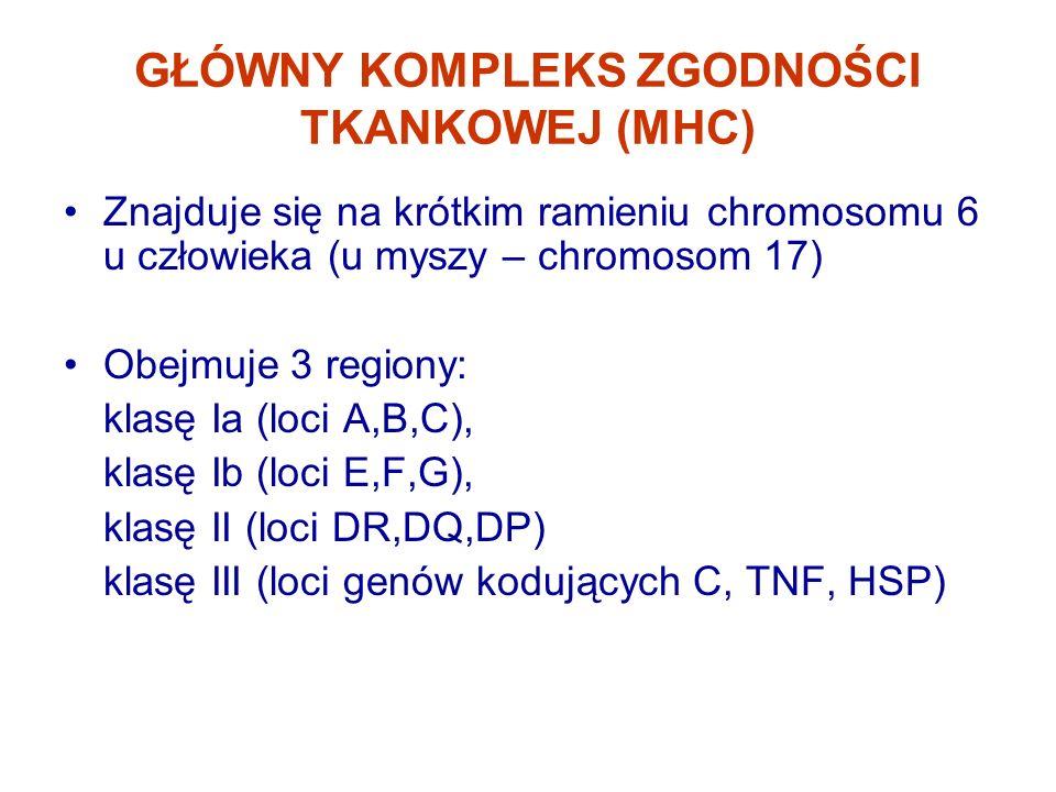 GŁÓWNY KOMPLEKS ZGODNOŚCI TKANKOWEJ (MHC) Znajduje się na krótkim ramieniu chromosomu 6 u człowieka (u myszy – chromosom 17) Obejmuje 3 regiony: klasę