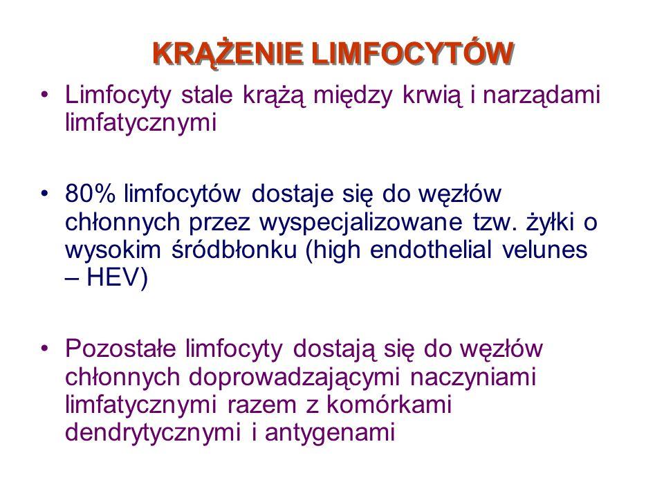 KRĄŻENIE LIMFOCYTÓW Limfocyty stale krążą między krwią i narządami limfatycznymi 80% limfocytów dostaje się do węzłów chłonnych przez wyspecjalizowane
