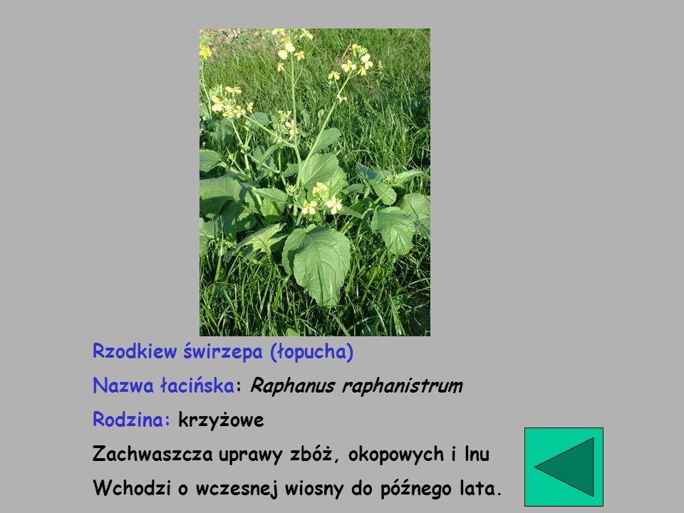Rzodkiew świrzepa (łopucha) Nazwa łacińska: Raphanus raphanistrum Rodzina: krzyżowe Zachwaszcza uprawy zbóż, okopowych i lnu Wchodzi o wczesnej wiosny
