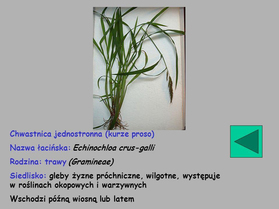 Chwastnica jednostronna (kurze proso) Nazwa łacińska: Echinochloa crus-galli Rodzina: trawy (Gramineae) Siedlisko: gleby żyzne próchniczne, wilgotne,