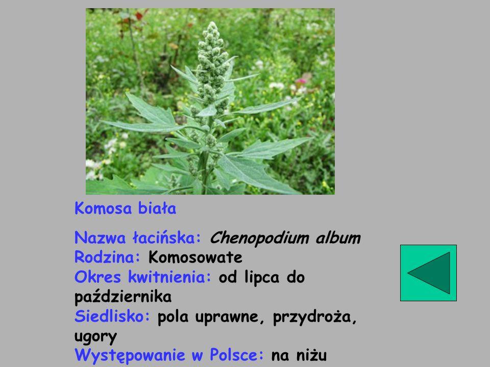 Komosa biała Nazwa łacińska: Chenopodium album Rodzina: Komosowate Okres kwitnienia: od lipca do października Siedlisko: pola uprawne, przydroża, ugor