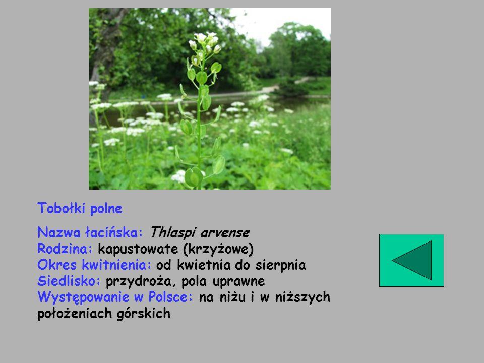 Tobołki polne Nazwa łacińska: Thlaspi arvense Rodzina: kapustowate (krzyżowe) Okres kwitnienia: od kwietnia do sierpnia Siedlisko: przydroża, pola upr