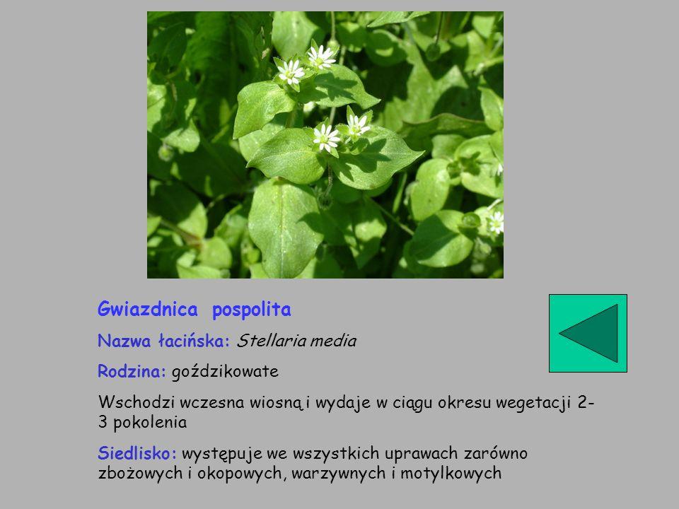 Gwiazdnica pospolita Nazwa łacińska: Stellaria media Rodzina: goździkowate Wschodzi wczesna wiosną i wydaje w ciągu okresu wegetacji 2- 3 pokolenia Si