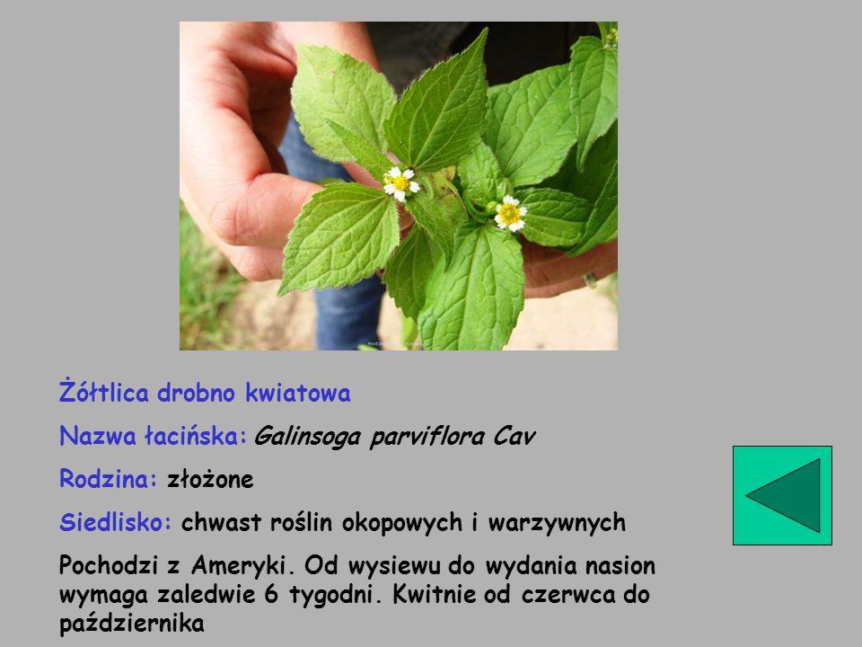 Rzodkiew świrzepa (łopucha) Nazwa łacińska: Raphanus raphanistrum Rodzina: krzyżowe Zachwaszcza uprawy zbóż, okopowych i lnu Wchodzi o wczesnej wiosny do późnego lata.