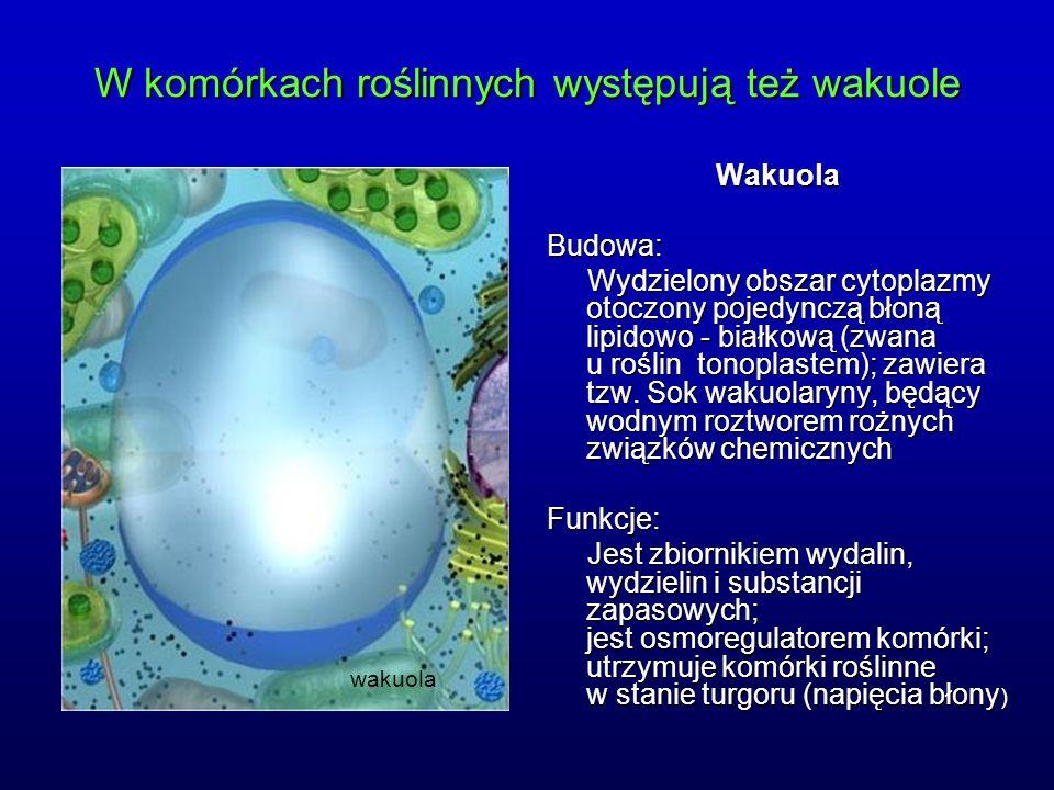 wakuola WakuolaBudowa: Wydzielony obszar cytoplazmy otoczony pojedynczą błoną lipidowo - białkową (zwana u roślin tonoplastem); zawiera tzw. Sok wakuo