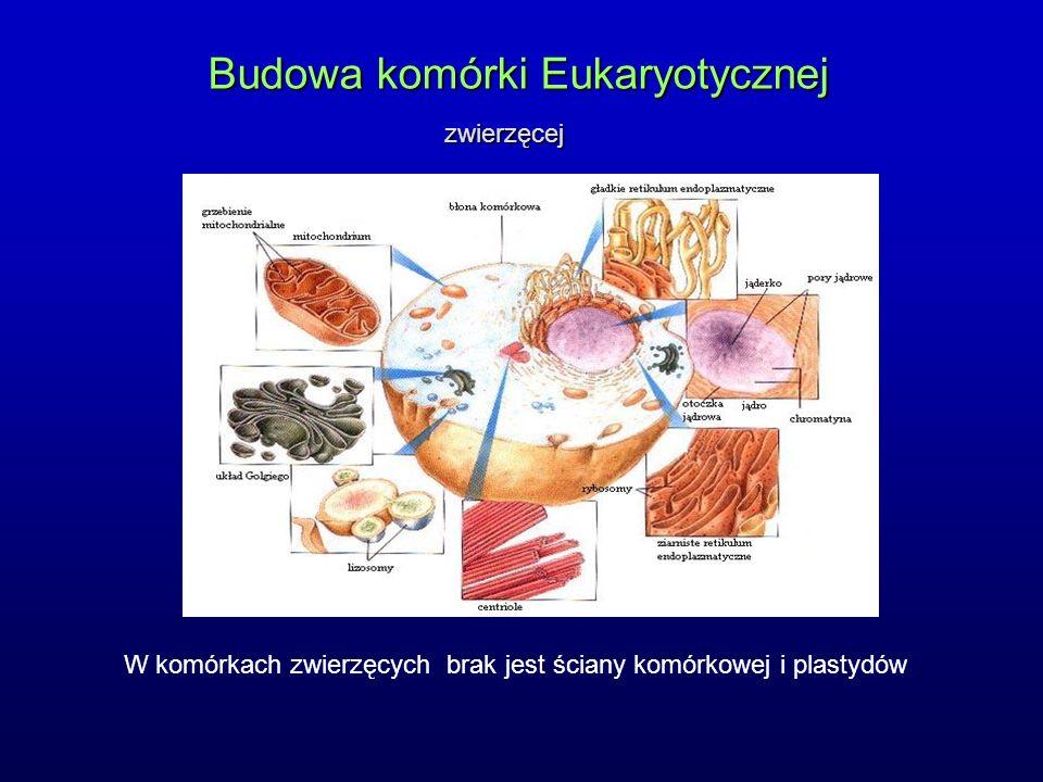 Budowa komórki Eukaryotycznej zwierzęcej W komórkach zwierzęcych brak jest ściany komórkowej i plastydów