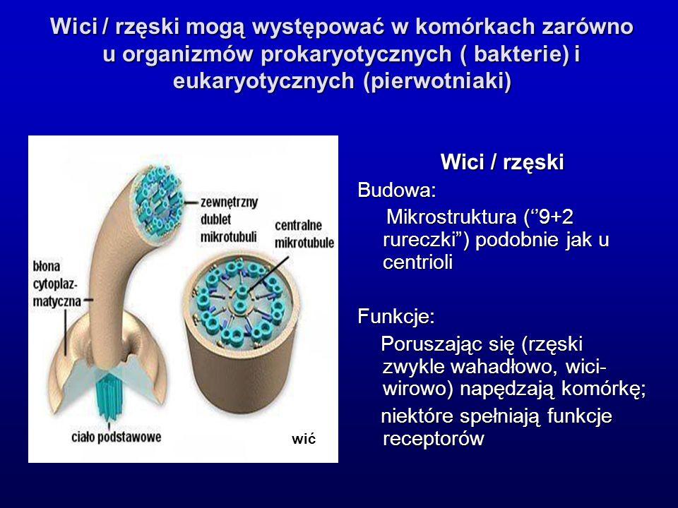 Wici / rzęski Budowa: Mikrostruktura (9+2 rureczki) podobnie jak u centrioli Mikrostruktura (9+2 rureczki) podobnie jak u centrioliFunkcje: Poruszając się (rzęski zwykle wahadłowo, wici- wirowo) napędzają komórkę; Poruszając się (rzęski zwykle wahadłowo, wici- wirowo) napędzają komórkę; niektóre spełniają funkcje receptorów niektóre spełniają funkcje receptorów wić Wici / rzęski mogą występować w komórkach zarówno u organizmów prokaryotycznych ( bakterie) i eukaryotycznych (pierwotniaki)