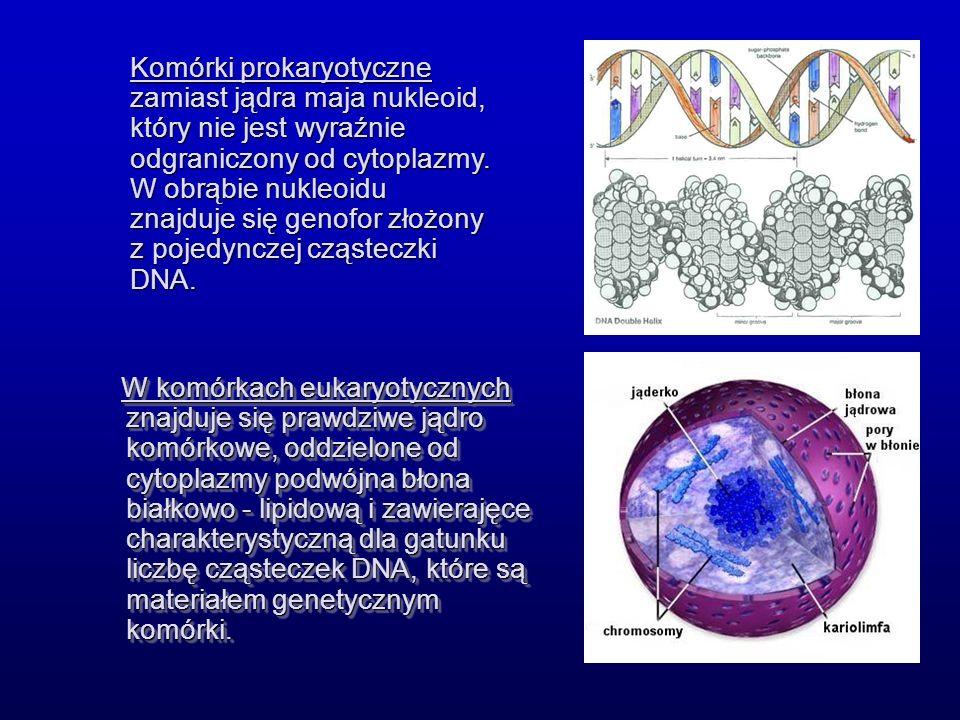W komórkach eukaryotycznych znajduje się prawdziwe jądro komórkowe, oddzielone od cytoplazmy podwójna błona białkowo - lipidową i zawierajęce charakterystyczną dla gatunku liczbę cząsteczek DNA, które są materiałem genetycznym komórki.