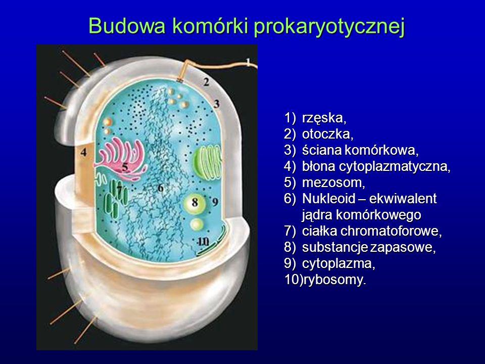 Budowa komórki prokaryotycznej 1)rzęska, 2)otoczka, 3)ściana komórkowa, 4)błona cytoplazmatyczna, 5)mezosom, 6)Nukleoid – ekwiwalent jądra komórkowego 7)ciałka chromatoforowe, 8)substancje zapasowe, 9)cytoplazma, 10)rybosomy.