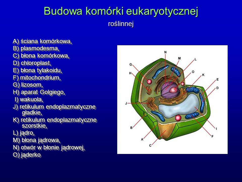 Budowa komórki eukaryotycznej roślinnej A) ściana komórkowa, B) plasmodesma, C) błona komórkowa, D) chloroplast, E) błona tylakoidu, F) mitochondrium, G) lizosom, H) aparat Golgiego, I) wakuola, I) wakuola, J) retikulum endoplazmatyczne gładkie, K) retikulum endoplazmatyczne szorstkie, L) jądro, M) błona jądrowa, N) otwór w błonie jądrowej, O) jąderko A) ściana komórkowa, B) plasmodesma, C) błona komórkowa, D) chloroplast, E) błona tylakoidu, F) mitochondrium, G) lizosom, H) aparat Golgiego, I) wakuola, I) wakuola, J) retikulum endoplazmatyczne gładkie, K) retikulum endoplazmatyczne szorstkie, L) jądro, M) błona jądrowa, N) otwór w błonie jądrowej, O) jąderko