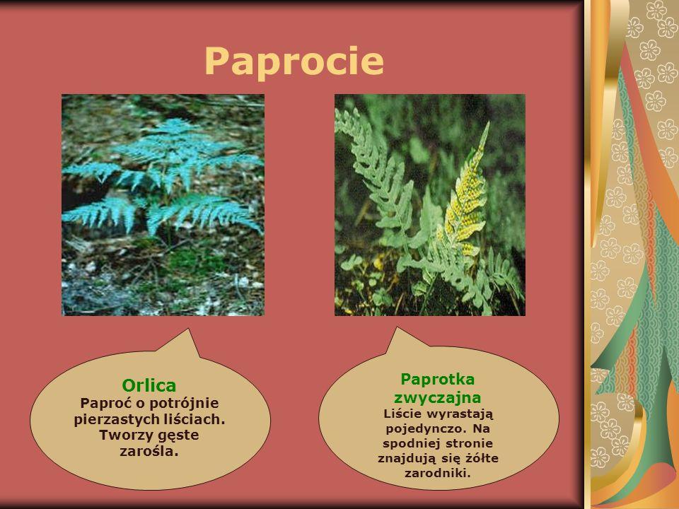 Paprocie Orlica Paproć o potrójnie pierzastych liściach. Tworzy gęste zarośla. Paprotka zwyczajna Liście wyrastają pojedynczo. Na spodniej stronie zna