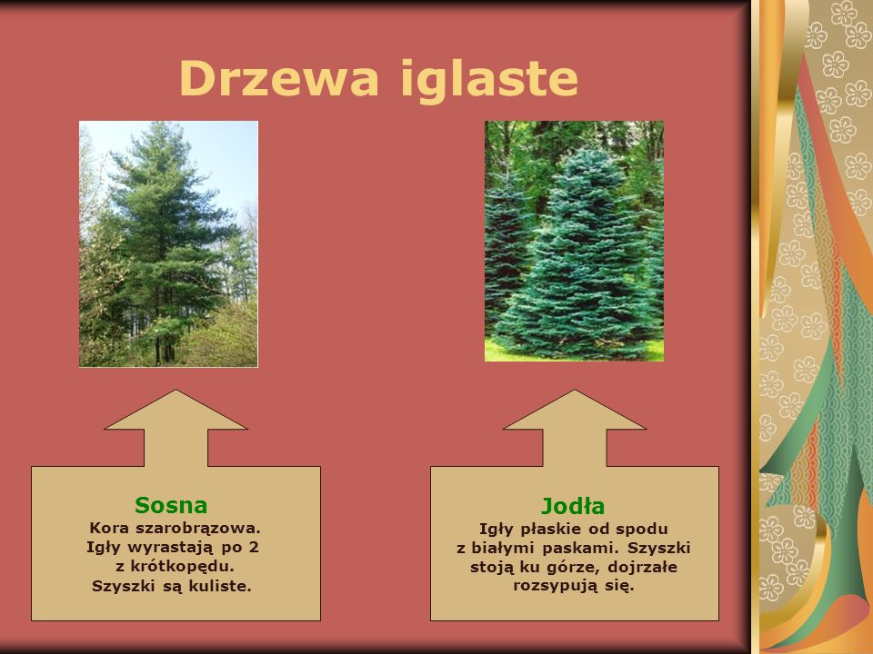 Drzewa iglaste Sosna Kora szarobrązowa. Igły wyrastają po 2 z krótkopędu. Szyszki są kuliste. Jodła Igły płaskie od spodu z białymi paskami. Szyszki s