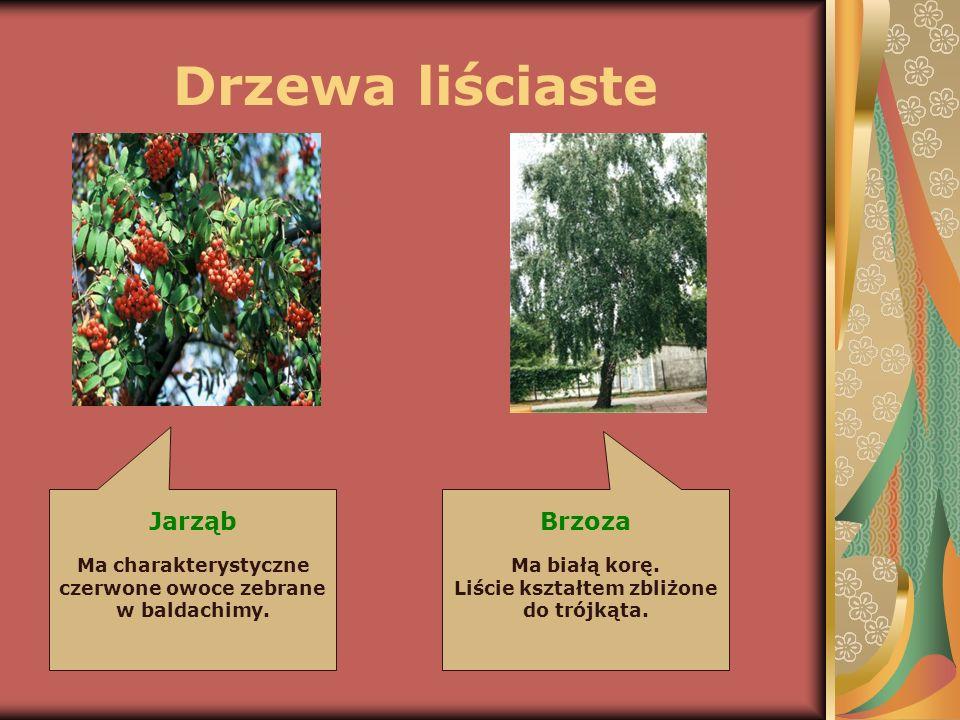 Drzewa liściaste Jarząb Ma charakterystyczne czerwone owoce zebrane w baldachimy. Brzoza Ma białą korę. Liście kształtem zbliżone do trójkąta.
