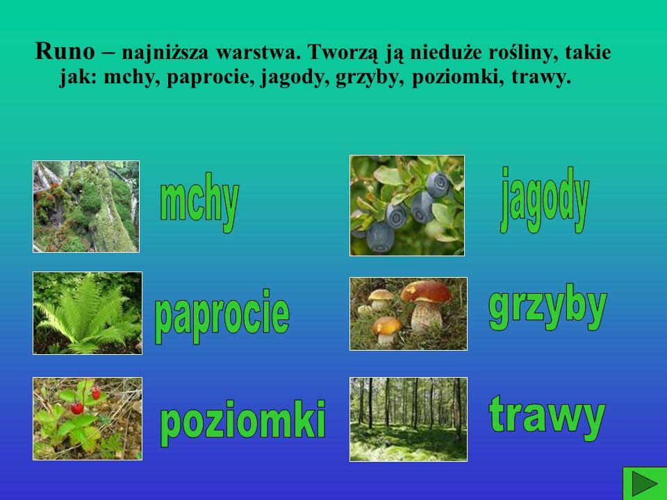 Podszyt – następna warstwa składająca się z krzewów (maliny, jeżyny, jałowce) i młodych drzewek.