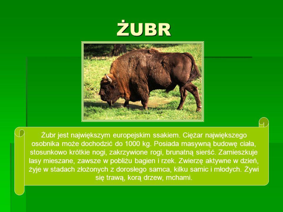 ŻUBR Żubr jest największym europejskim ssakiem. Ciężar największego osobnika może dochodzić do 1000 kg. Posiada masywną budowę ciała, stosunkowo krótk