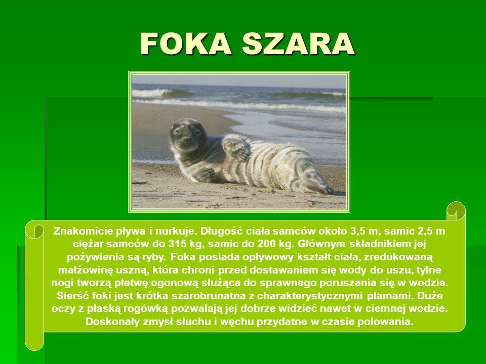 FOKA SZARA Znakomicie pływa i nurkuje. Długość ciała samców około 3,5 m, samic 2,5 m ciężar samców do 315 kg, samic do 200 kg. Głównym składnikiem jej