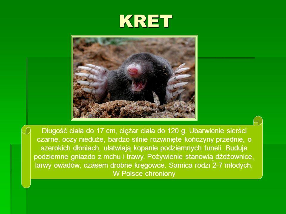 KRET Długość ciała do 17 cm, ciężar ciała do 120 g. Ubarwienie sierści czarne, oczy nieduże, bardzo silnie rozwinięte kończyny przednie, o szerokich d