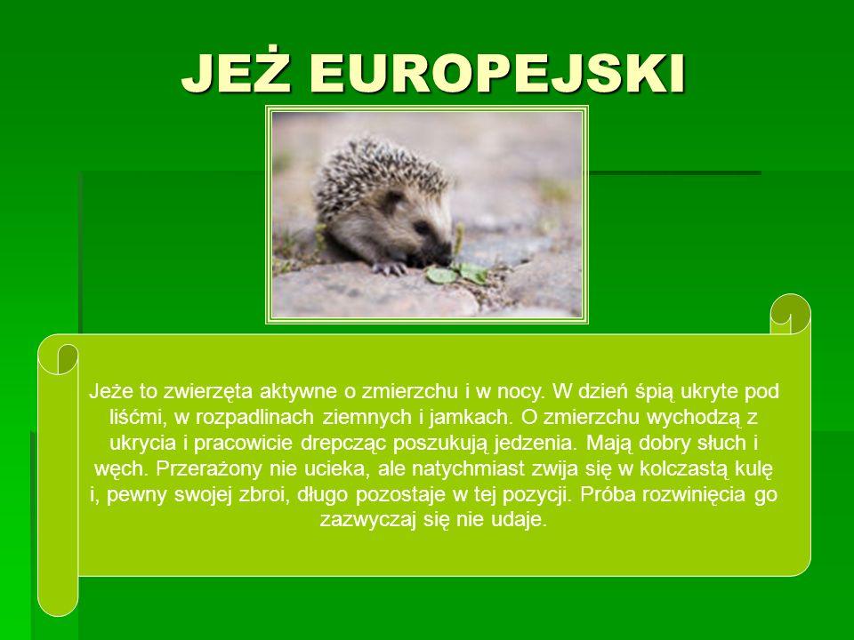 JEŻ EUROPEJSKI Jeże to zwierzęta aktywne o zmierzchu i w nocy. W dzień śpią ukryte pod liśćmi, w rozpadlinach ziemnych i jamkach. O zmierzchu wychodzą